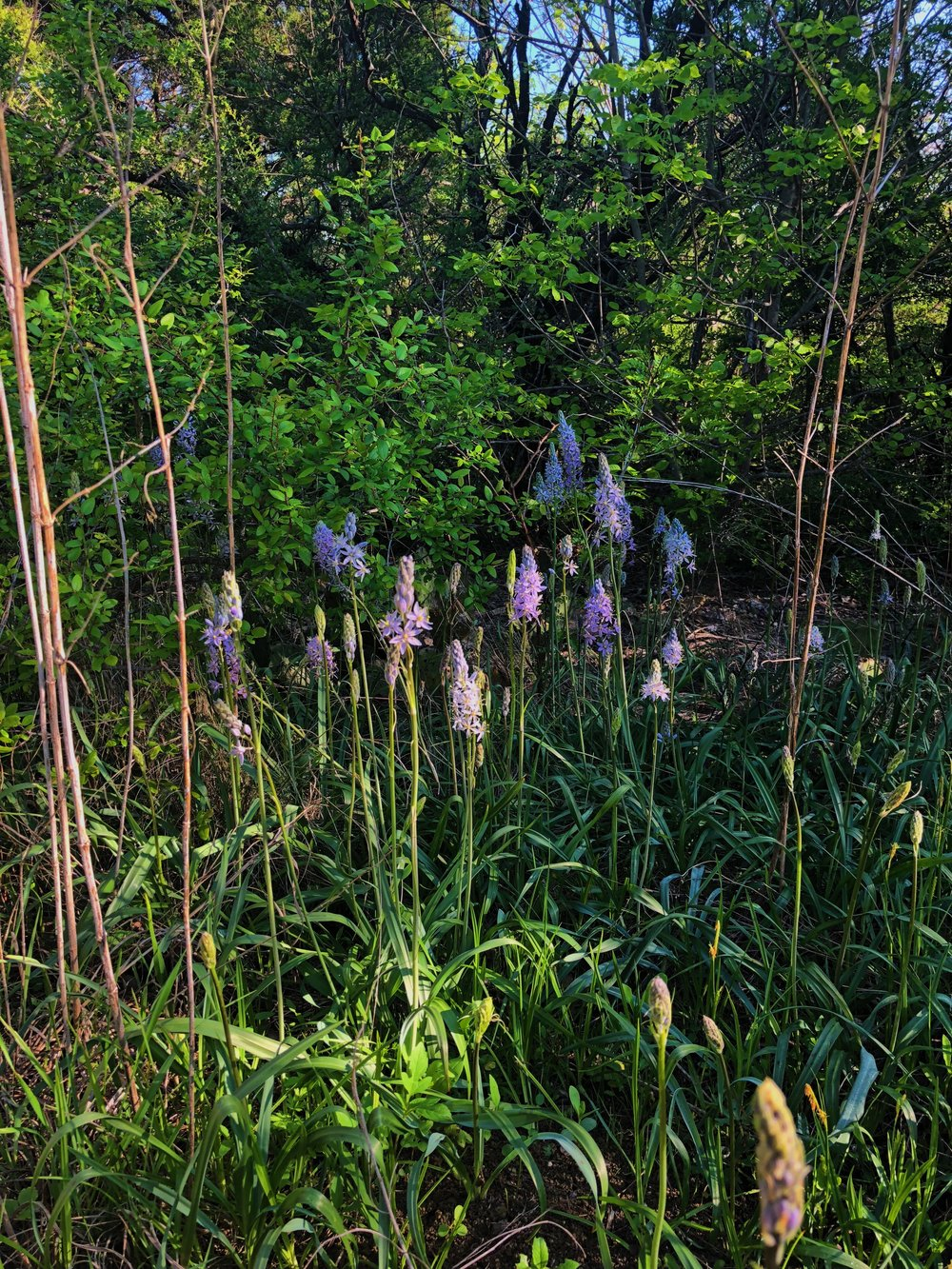 Camassia scilloides, Wild hyacinth