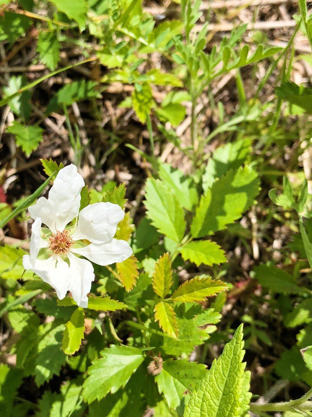Rubus trivialis, Dewberry
