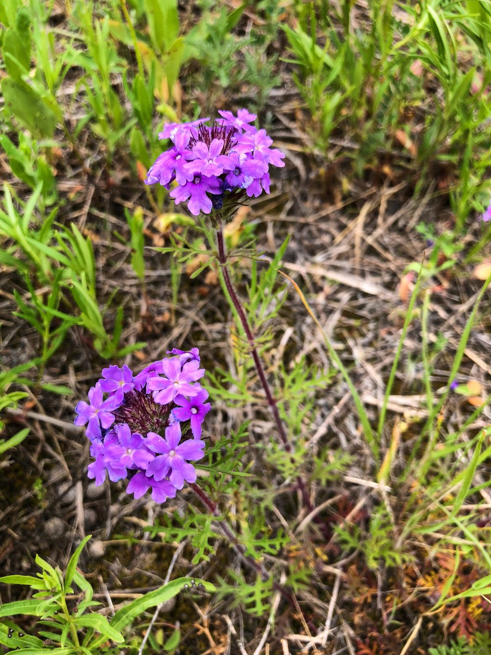 Glandularia bipinnatifida, Prairie verbena