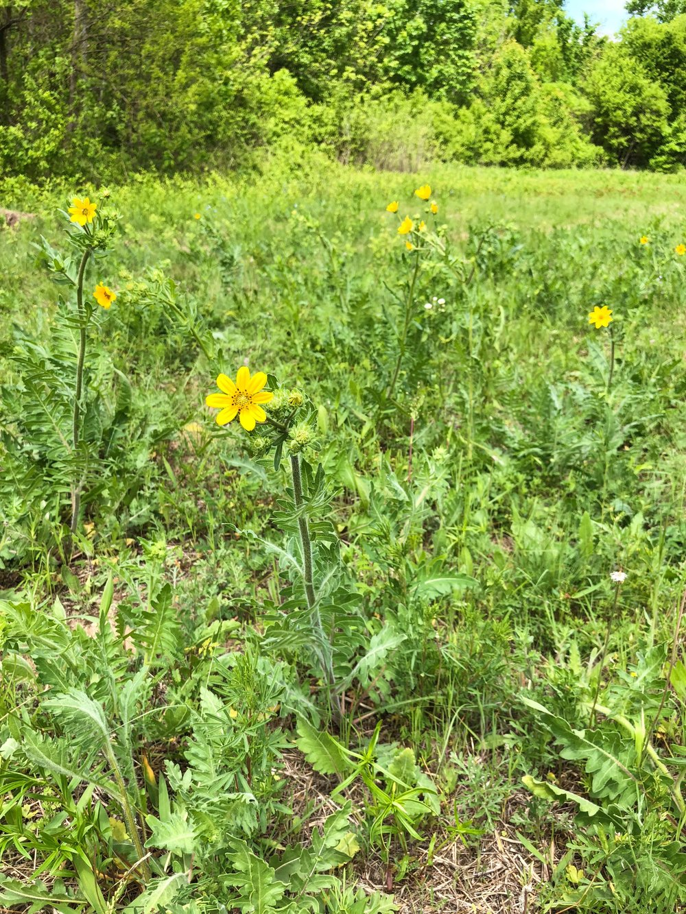 Engelmannia peristenia, Engelmann's daisy