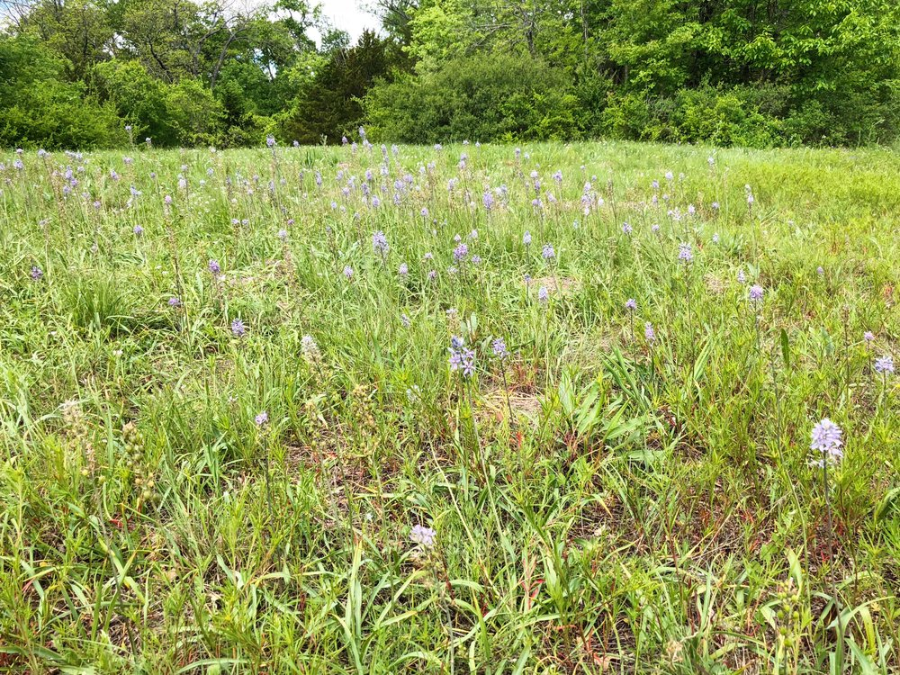 Camassia scilloides, Wild hyacinth