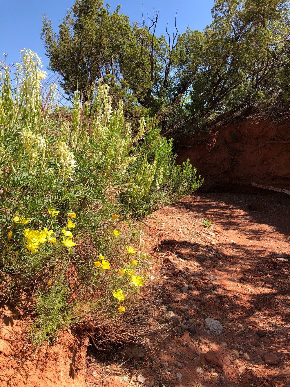 Astragalus racemosus, Cream Milkvetch with Calylophus berlandieri, Sundrops