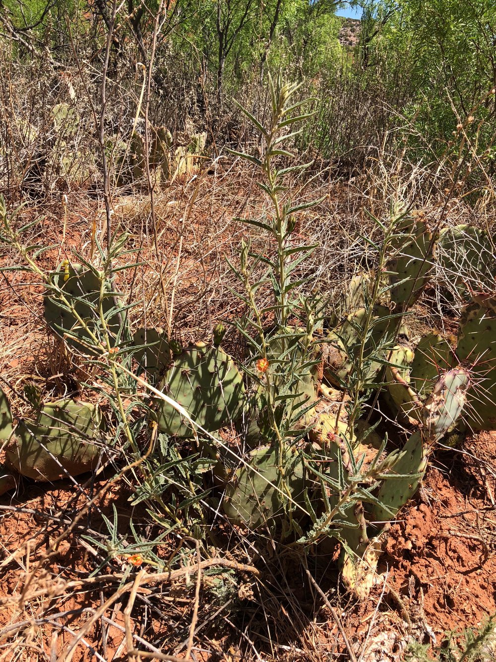 Sphaeralcea angustifolia, Narrowleaf Globemallow
