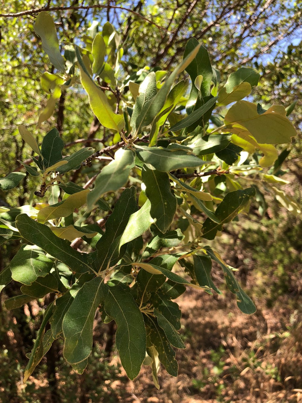 Quercus mohriana, Mohr's Oak