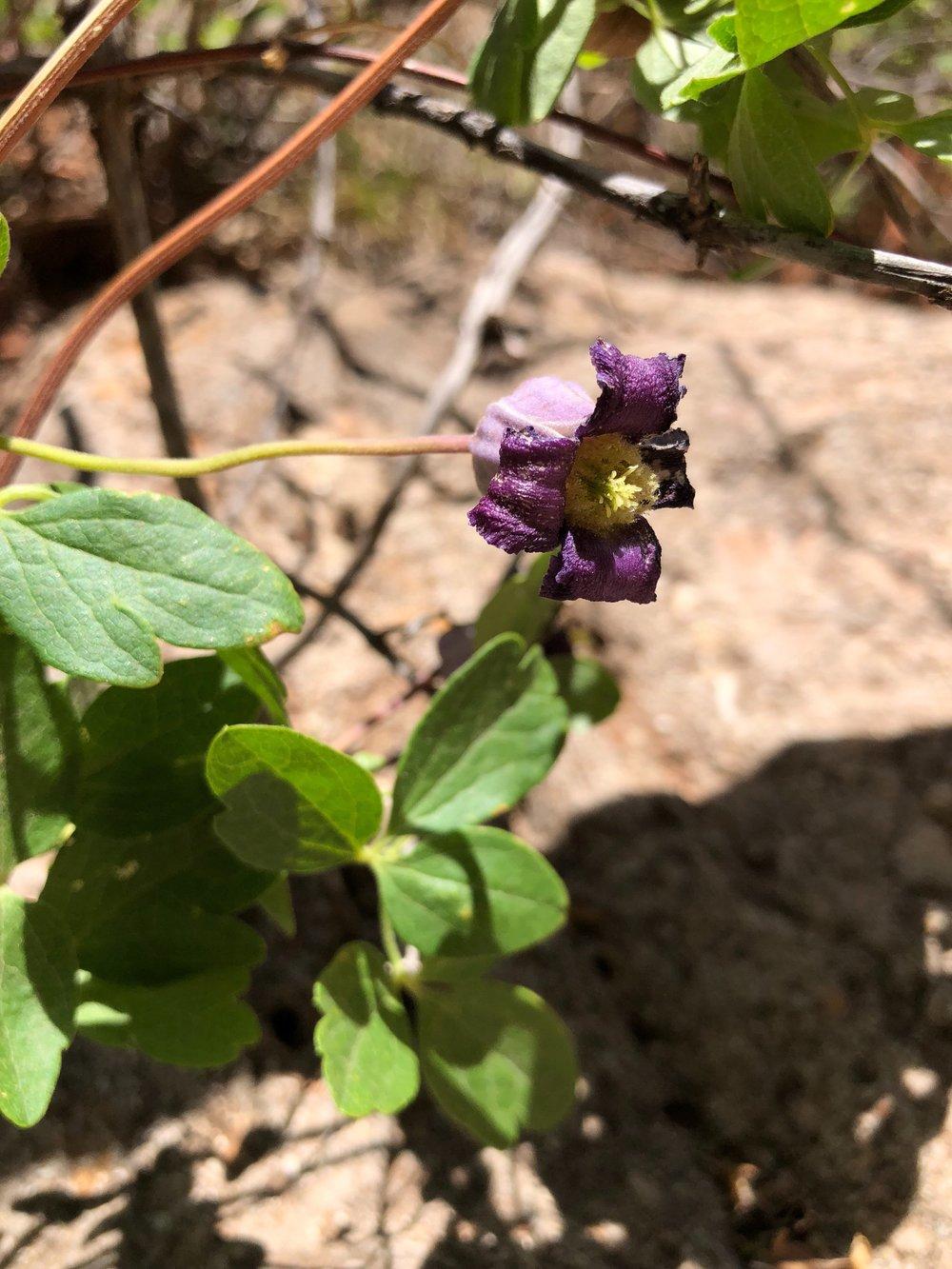 Clematis pitcheri, Purple Clematis