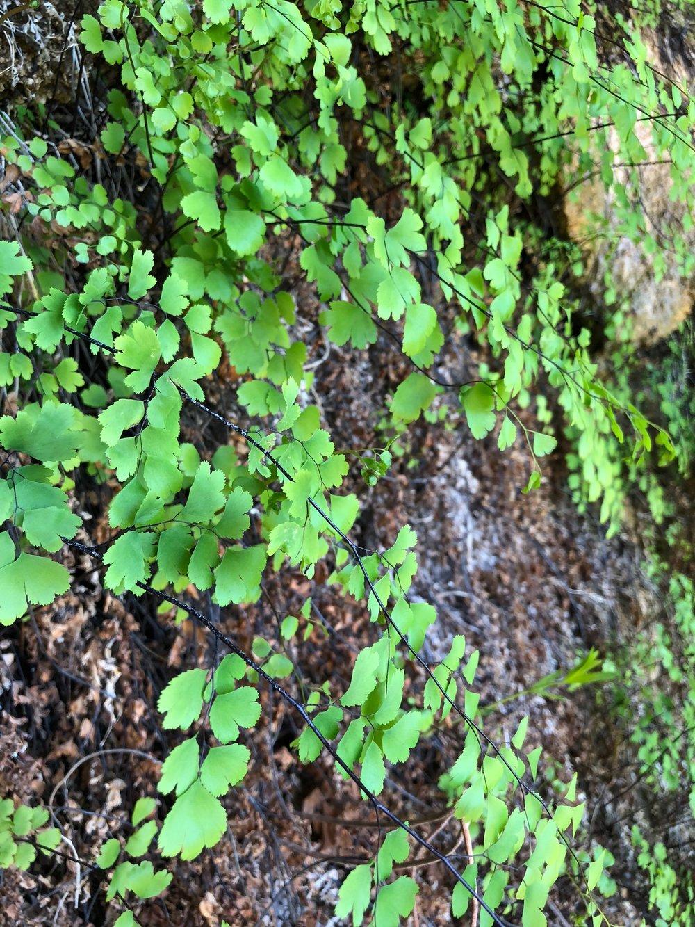 Adiantum capillus-veneris, Maidenhair Fern
