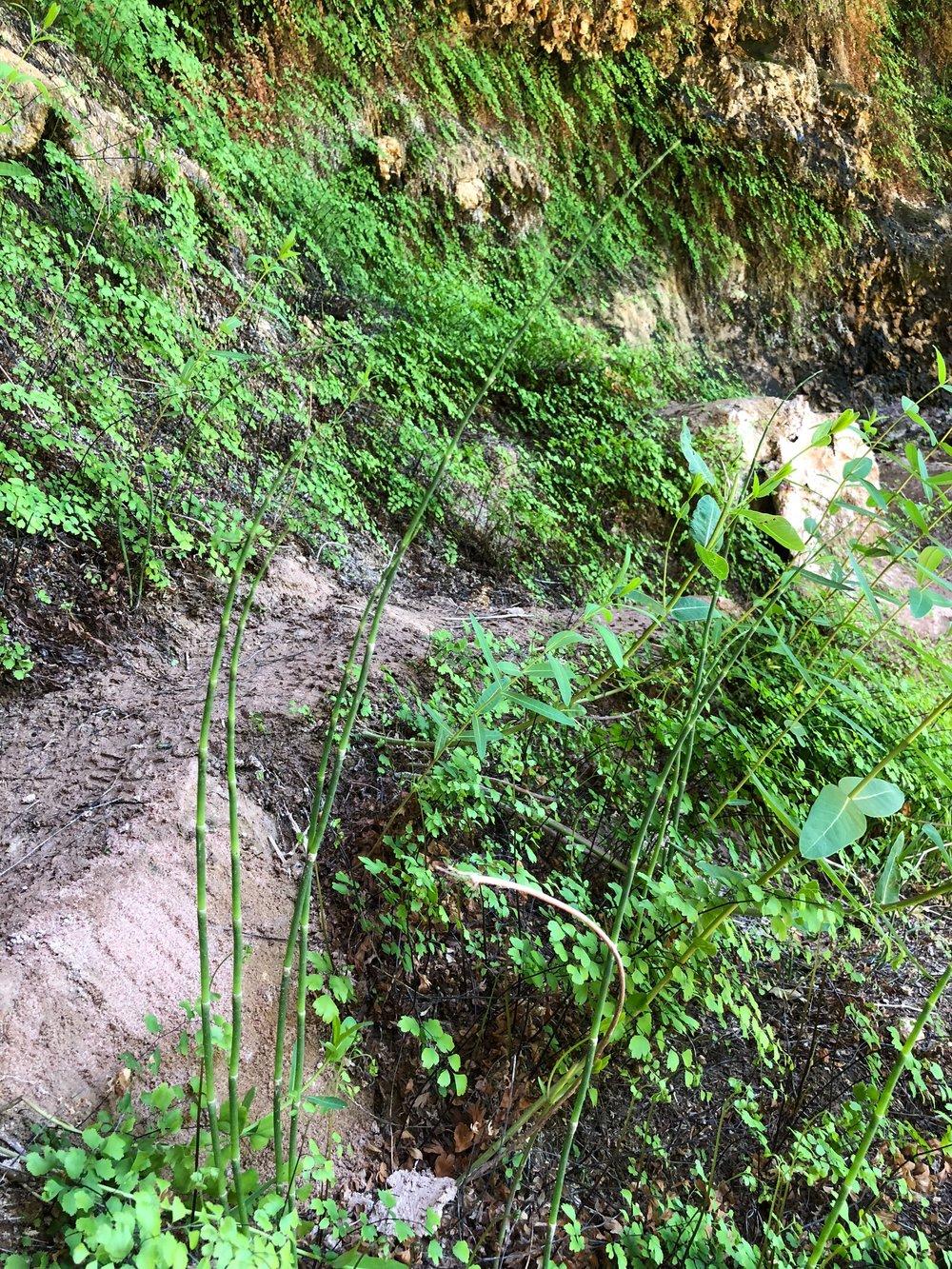Equisetum hyemale, Horsetail
