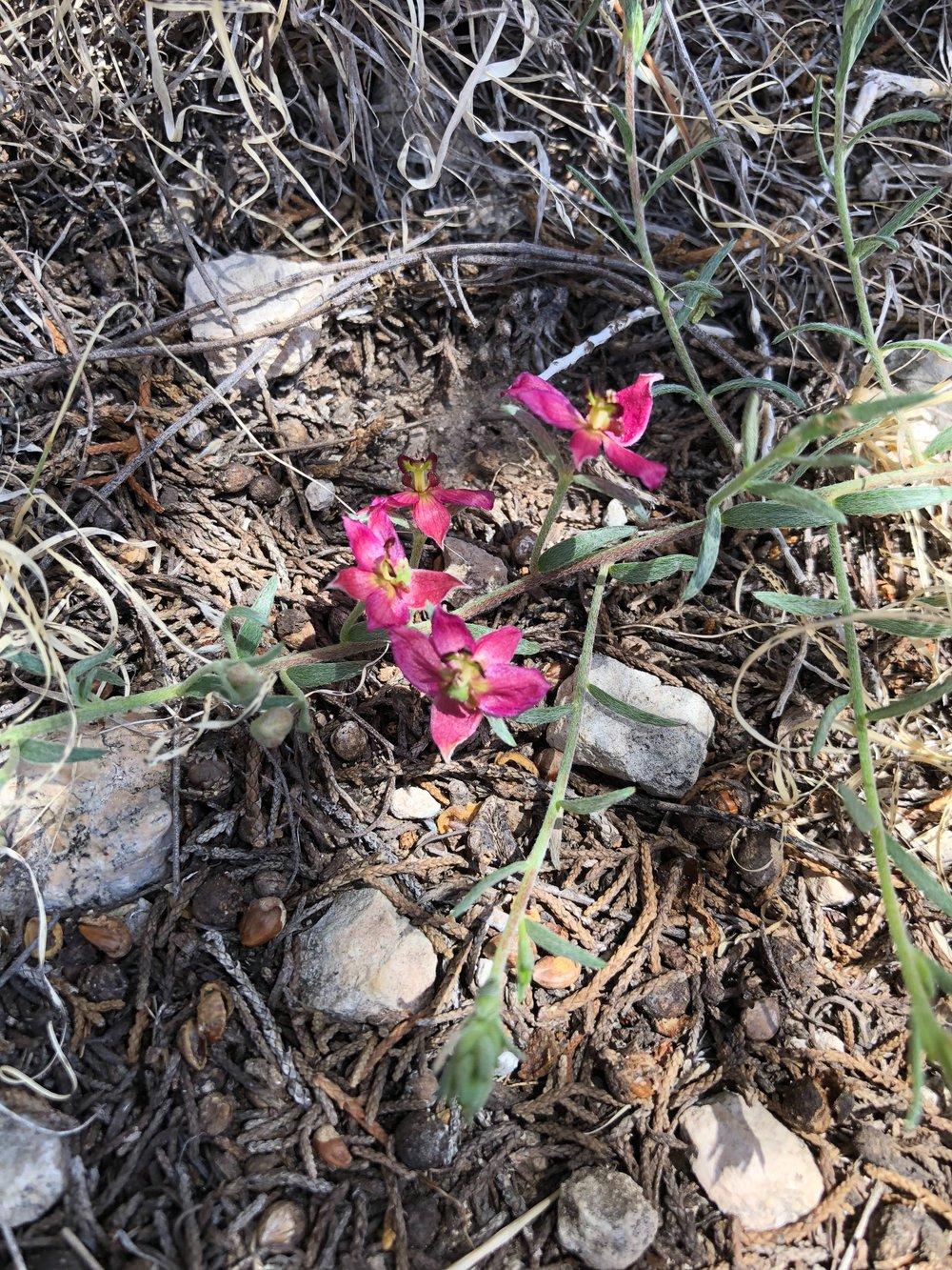 Krameria lanceolata, Prairie Bur