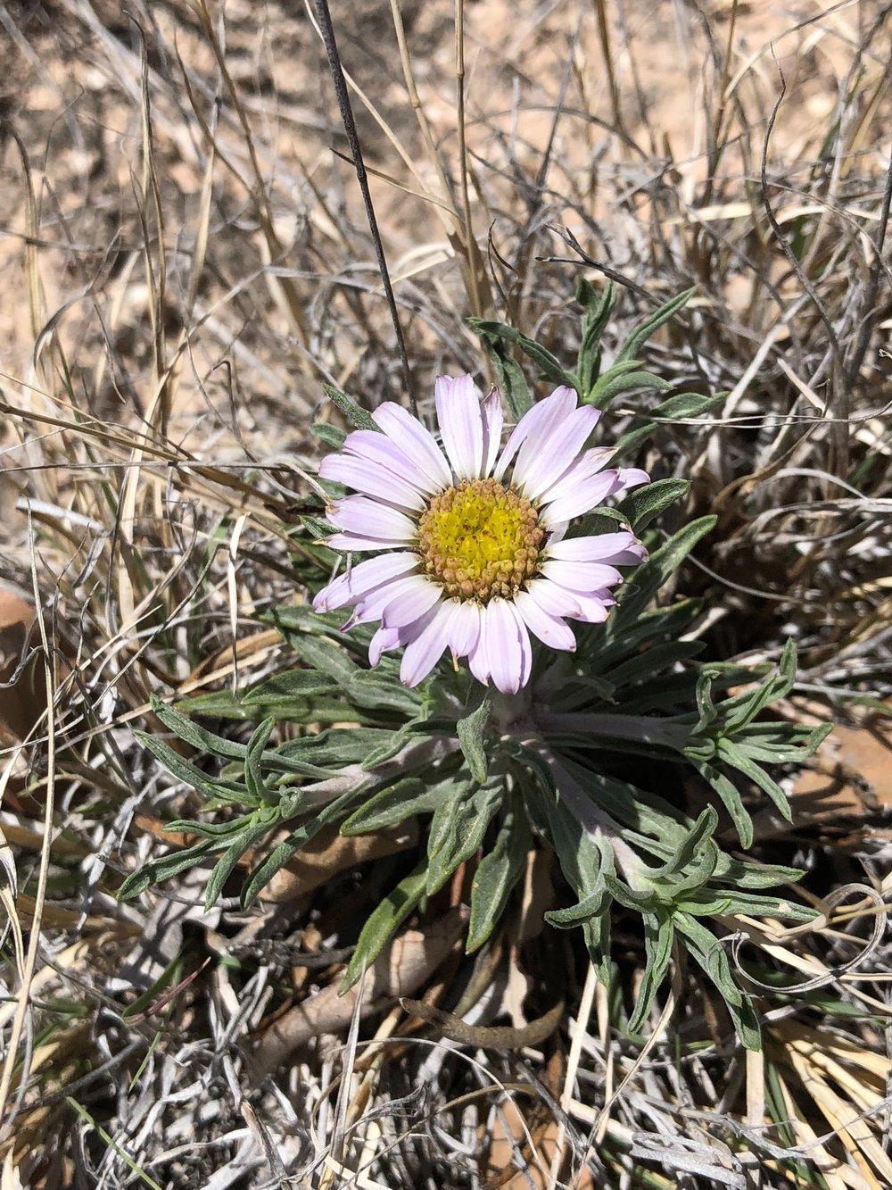 Townsendia texensis, Texas Townsend Daisy