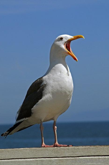 Seagull's Cheer