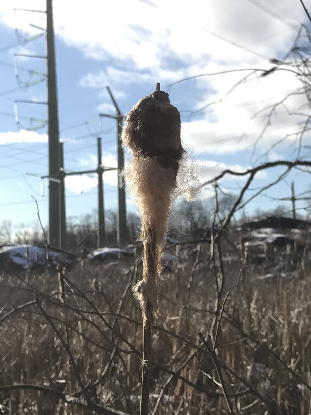 cattails, wish I knew more about how to harvest it