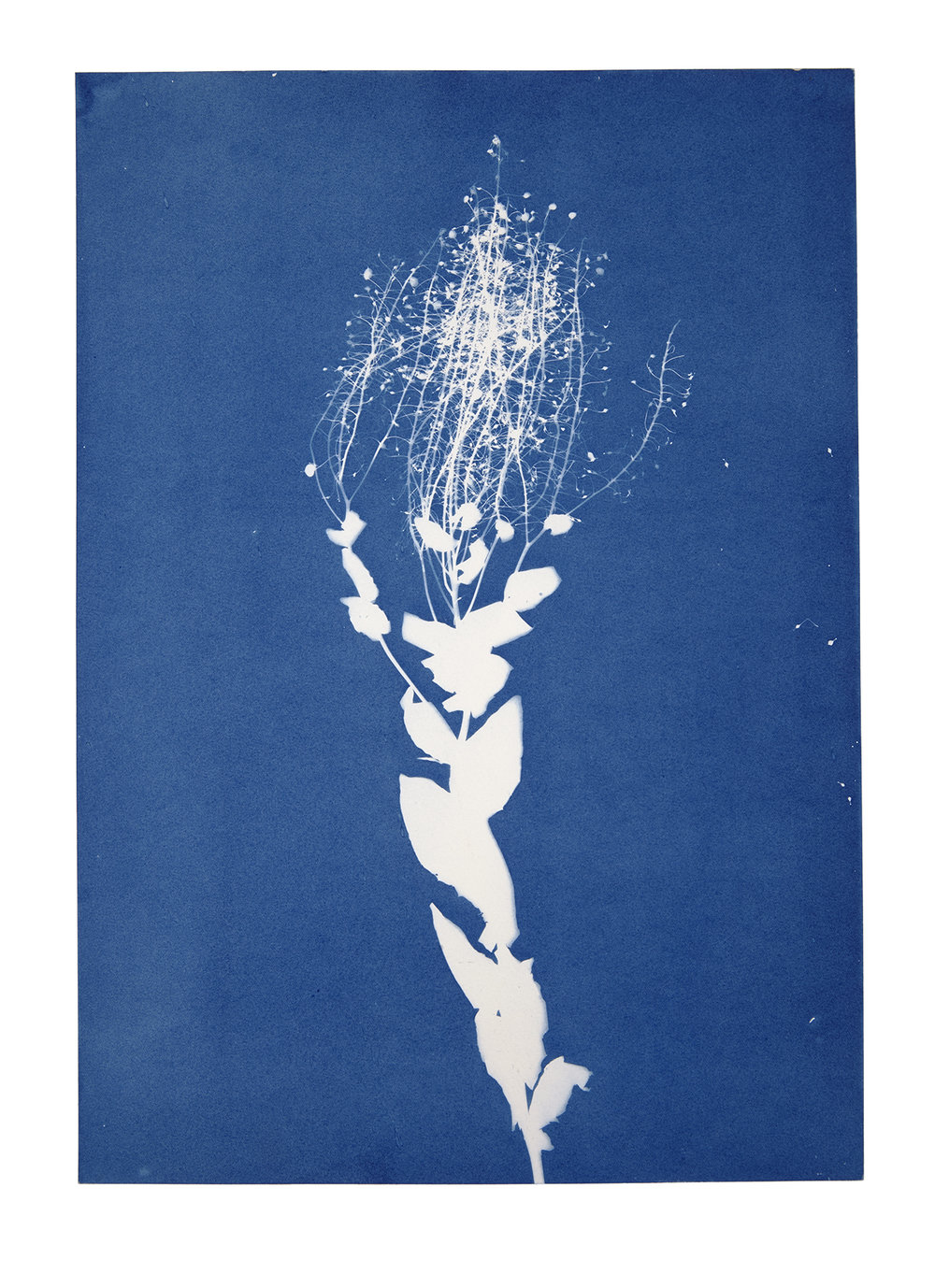 Jessie Brennan_Meadowsweet_cyanotype_Inside The Green Backyard (Opportunity Area).jpg