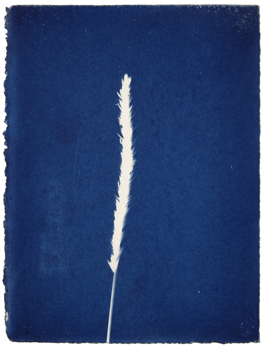 Jessie Brennan, 'Timothy-grass', cyanotype,  Inside The Green Backyard (Opportunity Area) , 2015-16.