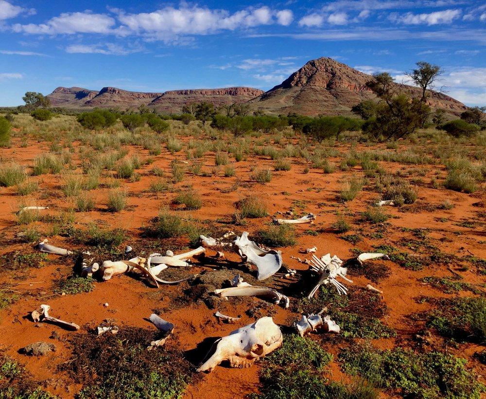 Les restes d'un chameau importé. © Photo : Aboriginal Signature • Estrangin Fine art gallery