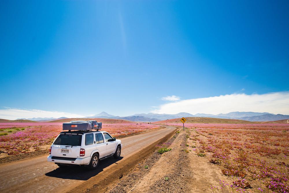 Blooming Atacama desert