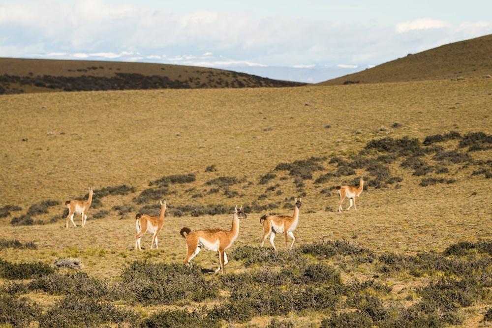 [[First llamas(guanacos)///First llamas(guanacos)///Prvé lamy :)]]