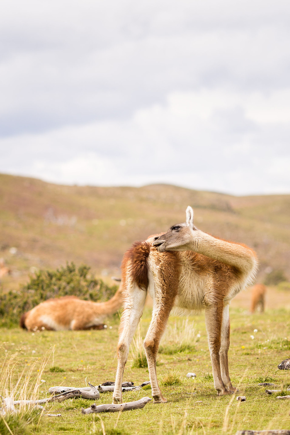 Wedding-Travellers-Overlanding-Destination-Wedding-Chile-Torres-del-Paine-guanaco-lama-llama-tres-torres-cute-funny