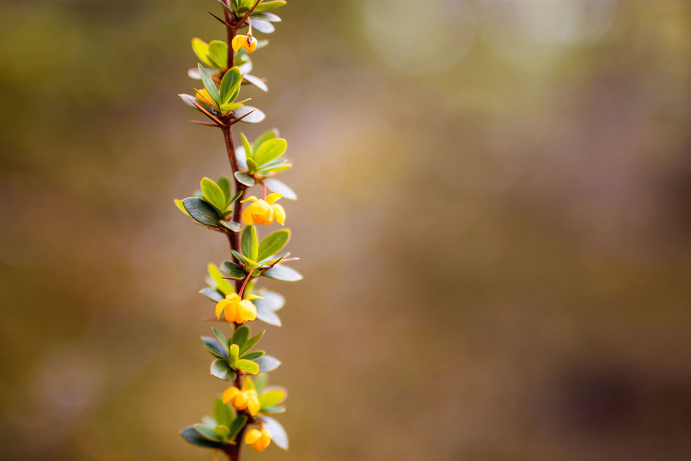 Wedding-travellers-ushuaia-argentina-calafate-berberis-yellow