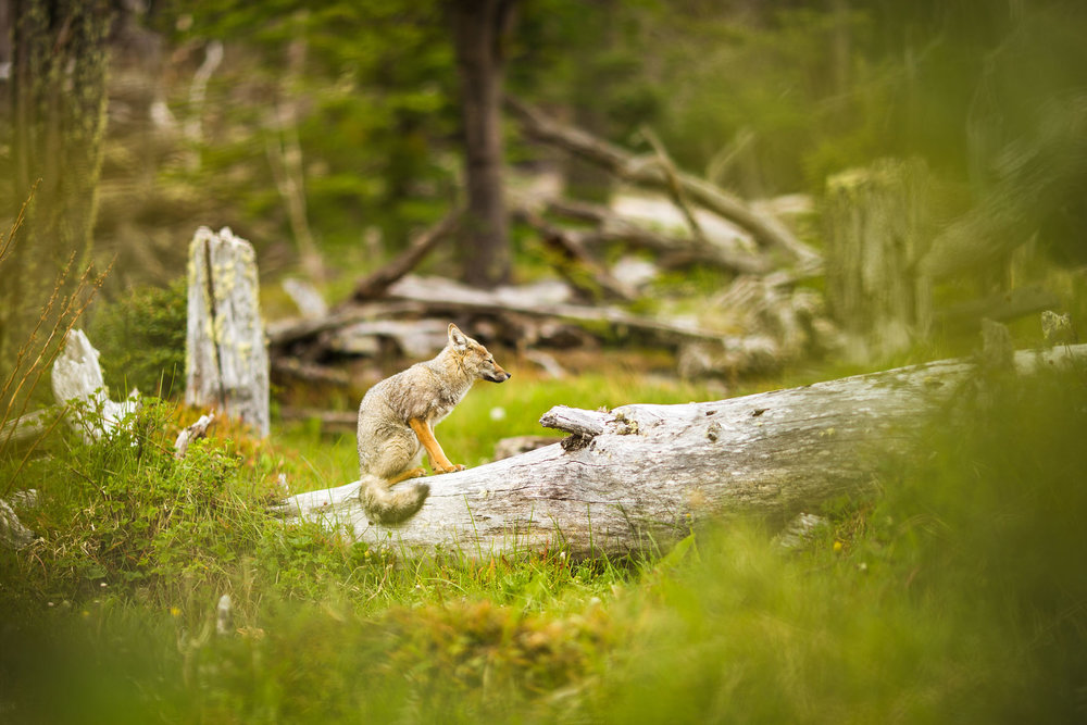 Wedding-travellers-ushuaia-argentina-fox