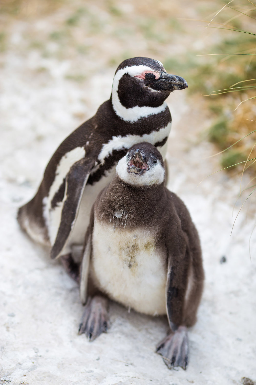 wedding-travellers-argentina-camarones-pinguins