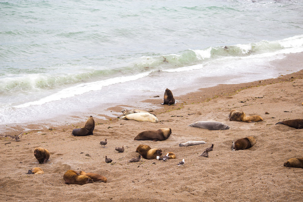 wedding-travellers-argentina-peninsula-valdes-sea-lion-elephant-seal