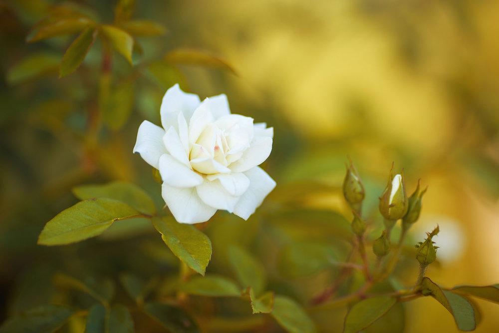 Wedding-travellers-Argentina-Buenos-Aires-Botanical-Garden-Jardin-Botanico-Rosario-Rose-White-Beautiful