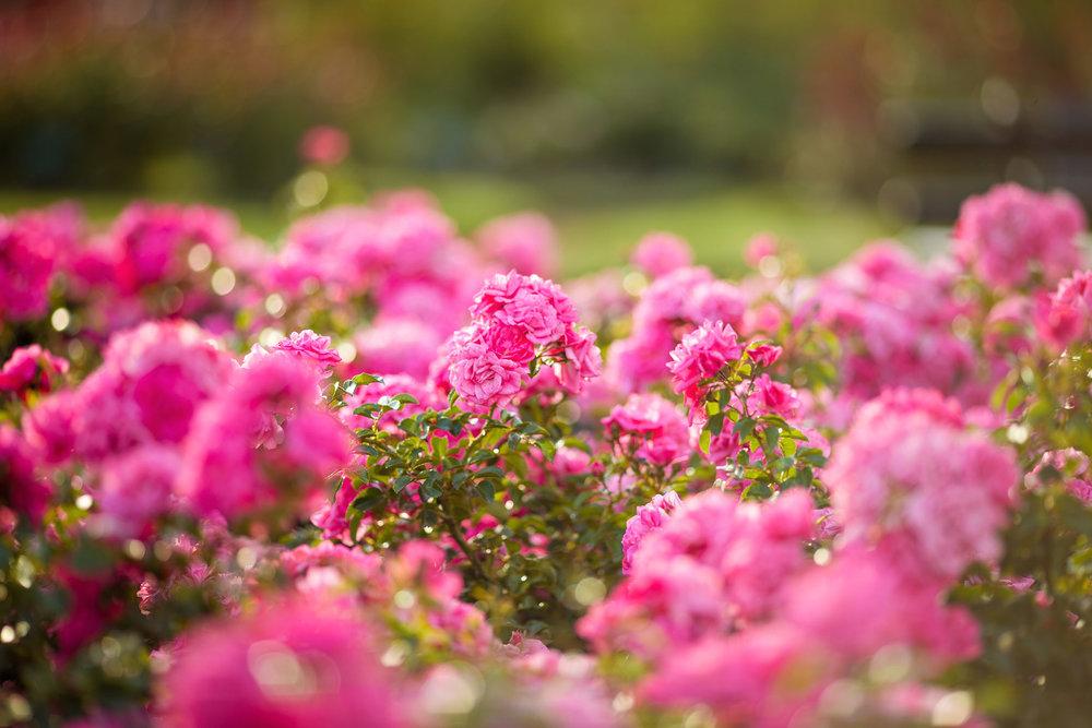 Wedding-travellers-Argentina-Buenos-Aires-Botanical-Garden-Jardin-Botanico-Rosario-Rose-Pink