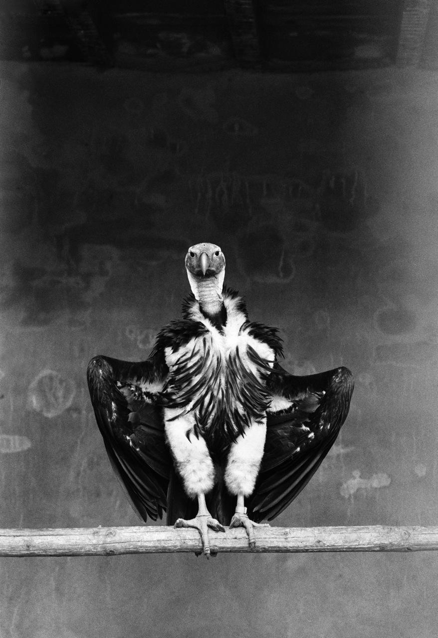 VultureRet.jpg