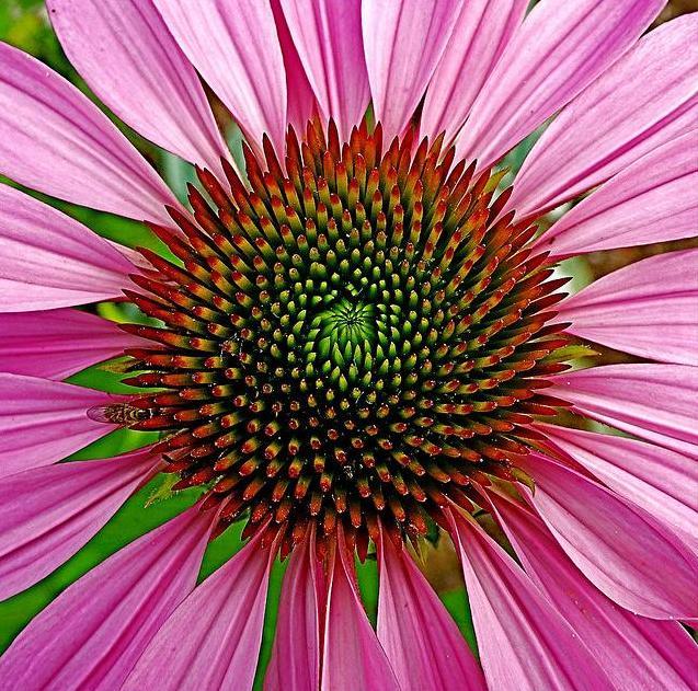 4_pink-daisy.jpg
