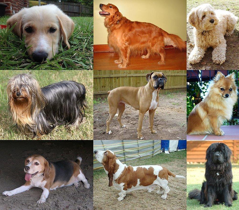 """Lär man sig vad ordet """"hund"""" betyder bättre om man får se många olika sorters hundar? ( https://creativecommons.org/licenses/by-sa/3.0 )], via Wikimedia Commons"""