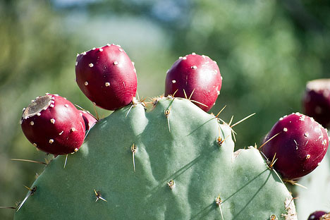 Prickly Pear Cold Hardy [Opuntia] Cactus