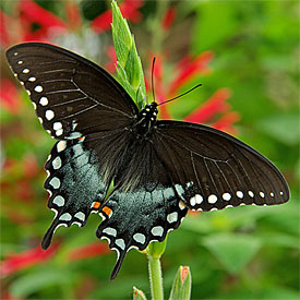 Spicebrush Swallowtail Butterfly
