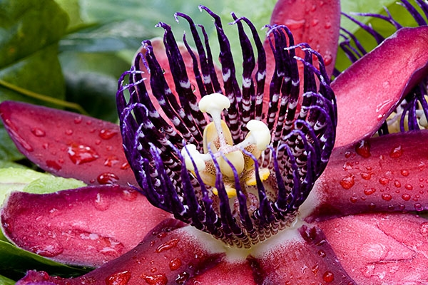 Wing-stem passion flower