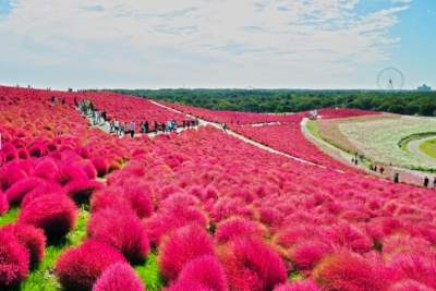 Fields of Bassia in Autumn @ Hitachi Seaside Park
