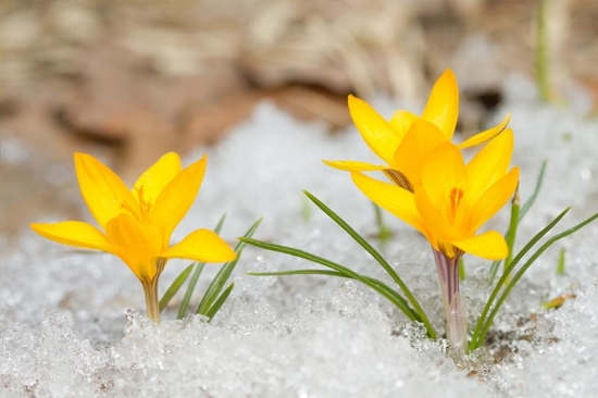 Daffodils peaking through the ice.