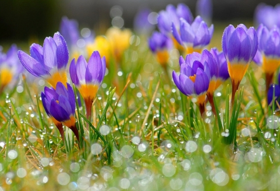 flowers-freshness-morning-pretty-march-crocuses-beautiful-meadow-spring-grass-bright-lovely-desktop-flower.jpg