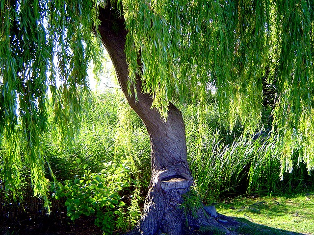 weeping_willows_1502627647.jpg