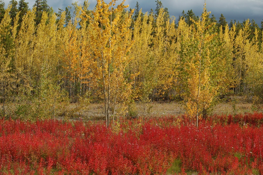 aspen and fireweed.jpg