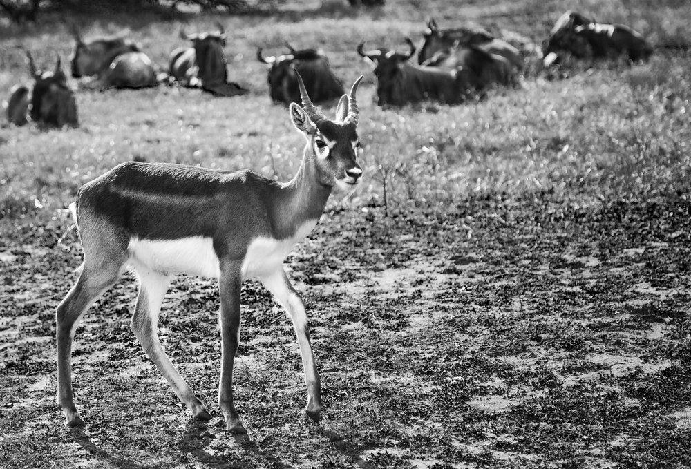 Antelope and Wildebeest BW.jpg