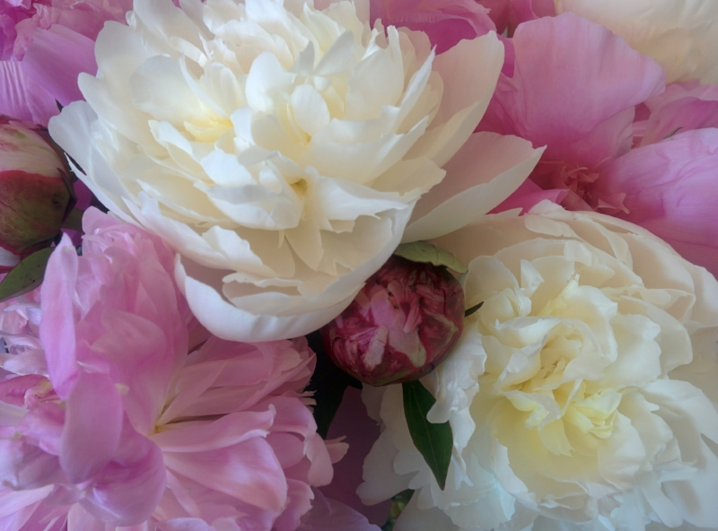 The peonies I got last year.