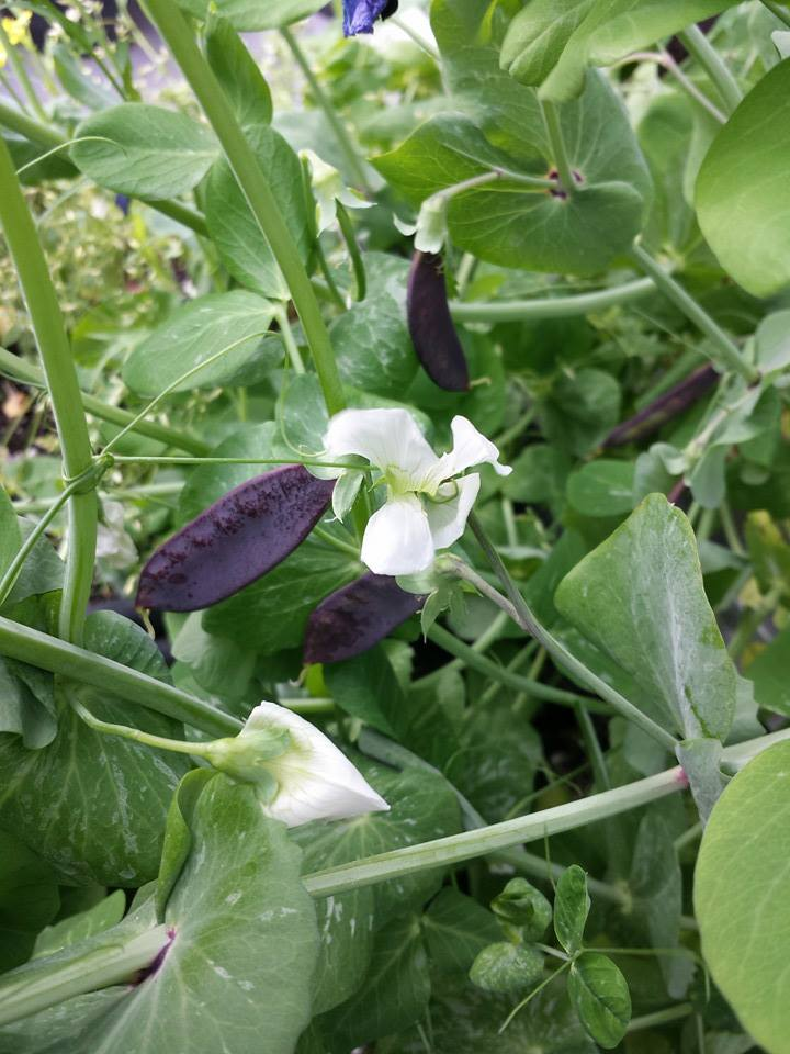 Purple snow peas.jpg