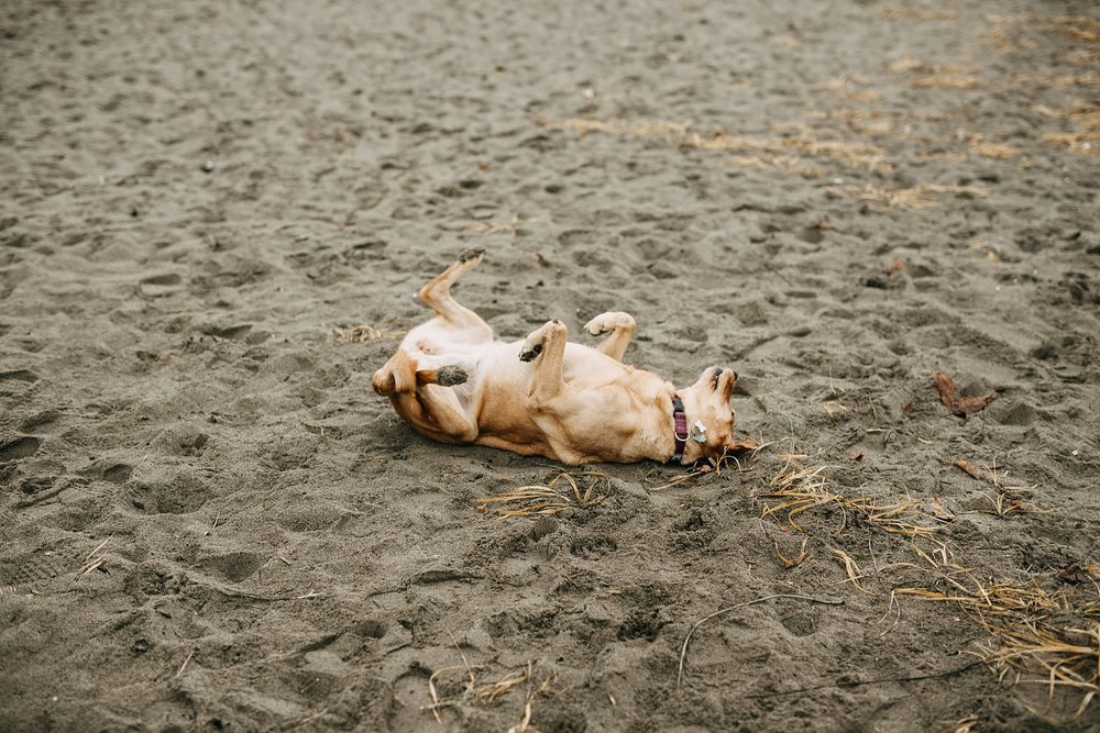 puppy rolling in sand on spanish banks beach