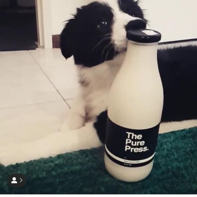 How cute is this puppy, he would make a great mascot for the Pure Press🐶 with his matching black and white coat 🖤⁣ thanks for the love @tylerwhite_bordercollie 😉⁣ ⁣ ⁣ ⁣ .⁣ .⁣ .⁣ .⁣ .⁣ .⁣ .⁣ #perthisok #perthlife #perth #perthfood #perthcafe #perthgirlboss #perthcoffee #urbanlistedperth #urbanlisted #perthblogger #greenjuice #greensmoothie #healthy #activeinperth #perthfitfam #healthylifestyle #healthblogger #girlboss #cleanse #almondmilk #thepurepress  #love #protein #motivate #soperth #perthfitfam #vegan #dairyfree #paleofood #bbg
