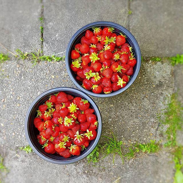 First strawberries from our gardens. #temperchokolade #chocolate #chokolade #ribe #danmark ##jordbær #strawberries #have #sydvestjyskesmagsoplevelser #vadehavet