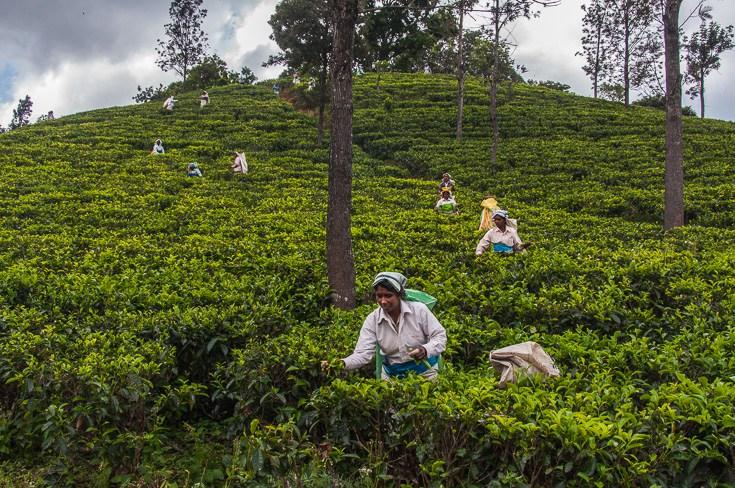 Sri Lanka Tea.jpg