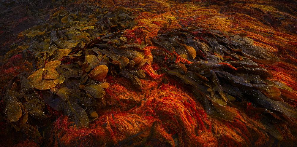 Kelp Lava  2016