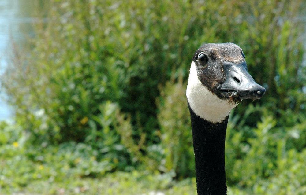 Goose.jpg