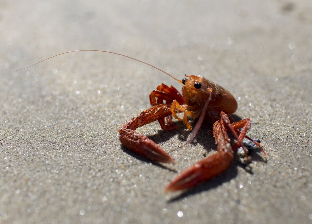 monterey_crab2.jpg