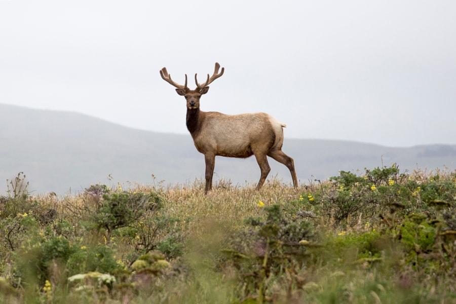 Tule Elk