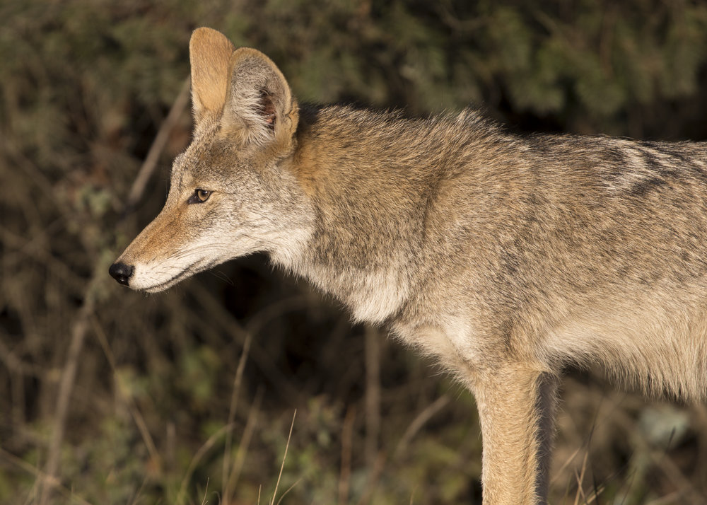 stinsonbeach_coyote1.jpg
